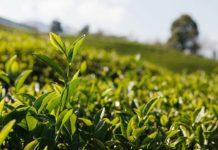 Pięć rzeczy, które warto wiedzieć o zielonej herbacie